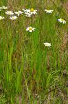 Corn Chamomile (Anthemis arvensis)